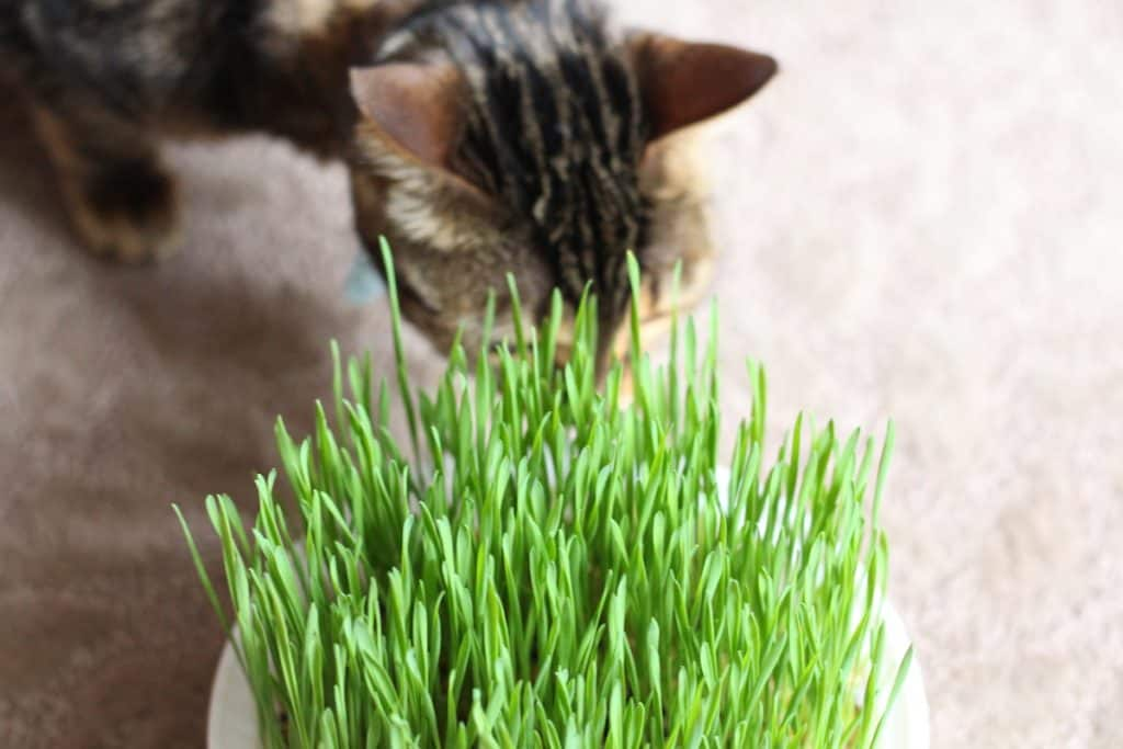Cat checking out cat grass