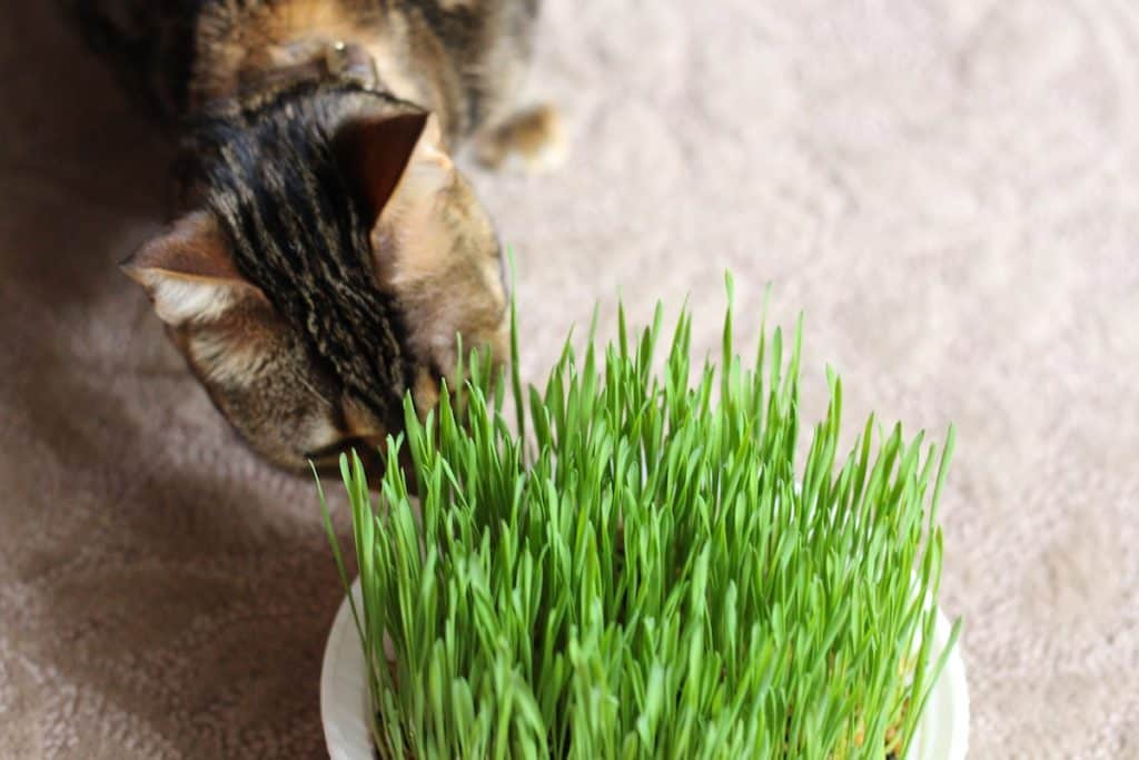 Cats love real cat grass