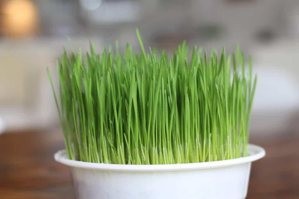 Freshly grown cat grass