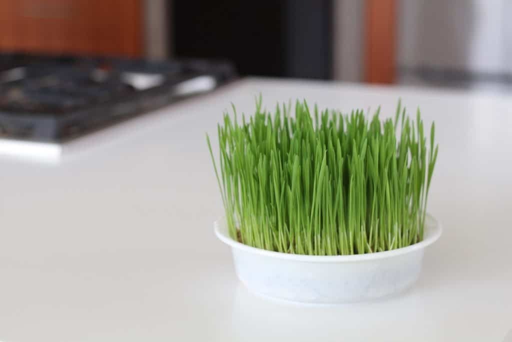 Growing cat grass in your kitchen - tutorial