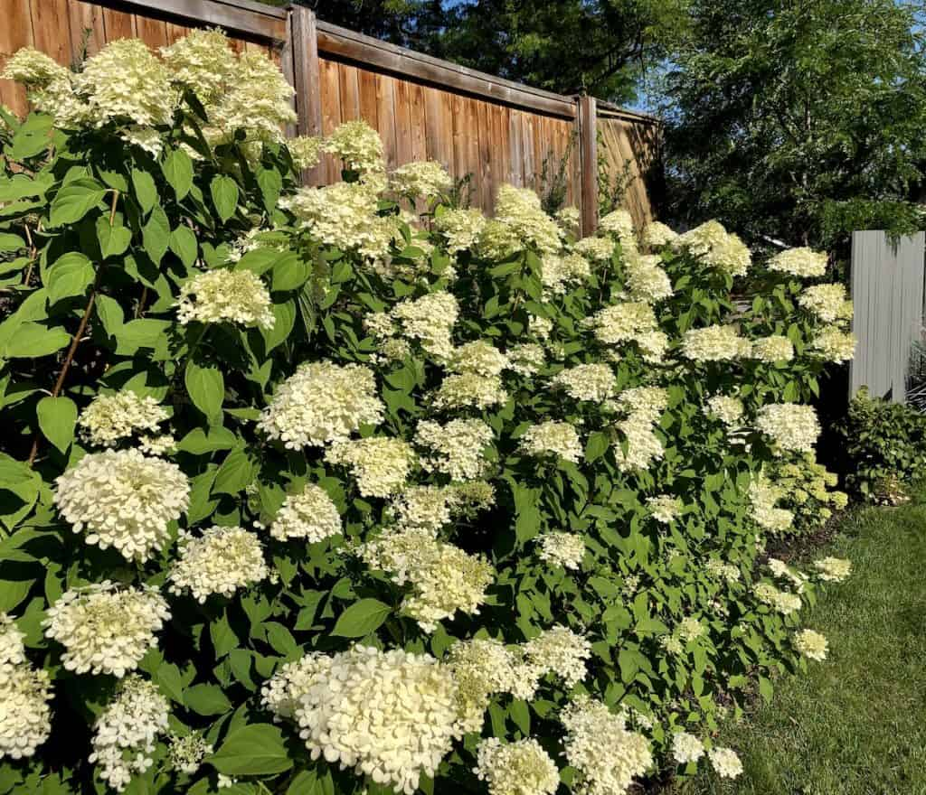 Hedge of little lime panicle hydrangeas in bloom - early fall