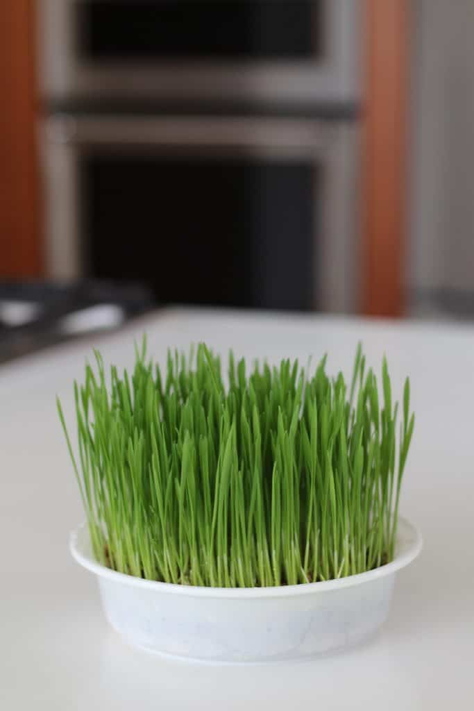 Cat Grass Tray in Kitchen
