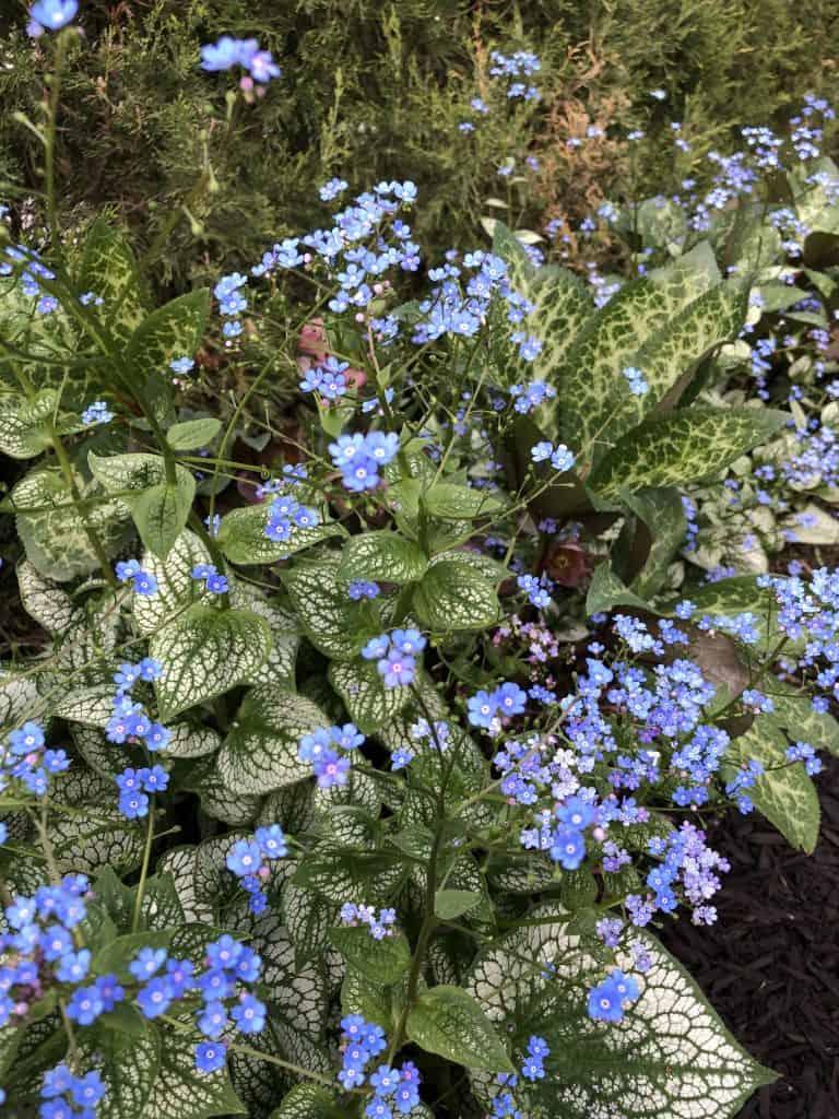 Low-Growing Perennial Largeleaf Brunnera in Garden