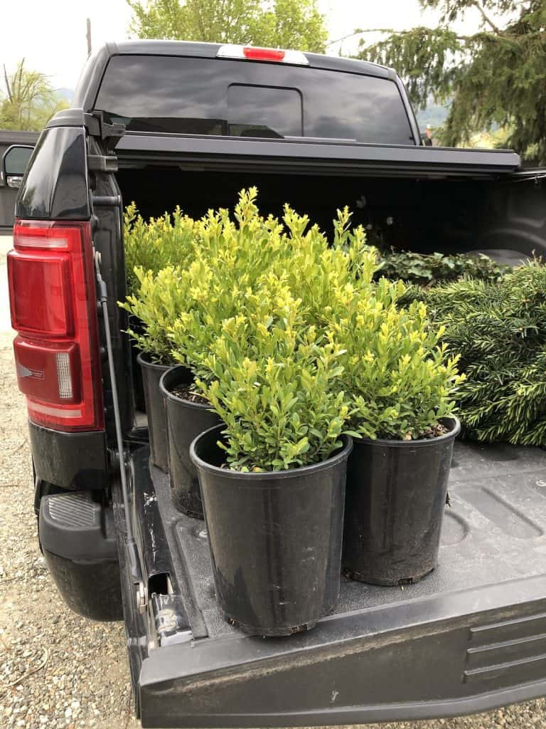 Planting boxwood shrubs for fall curb appeal