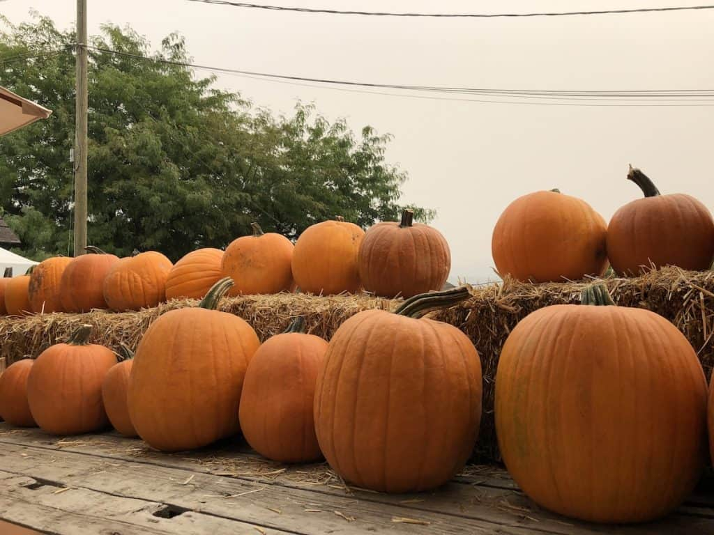Pumpkins lined up on wood boards and straw bales
