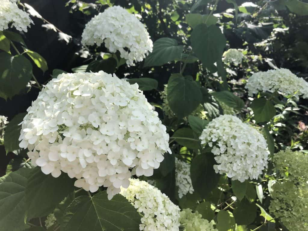 Smooth Hydrangea Blossoms in Shade - white flowers for shady areas