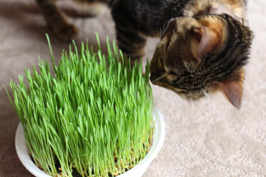 fresh cat grass for indoor kitty cat pets