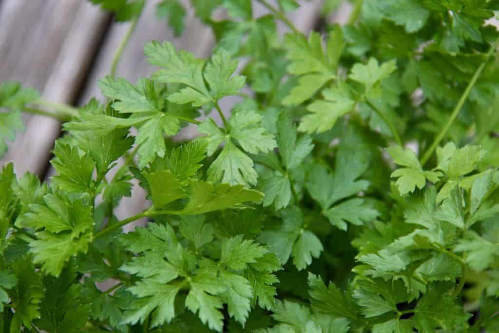 fresh flat-leaved italian parsley on patio garden