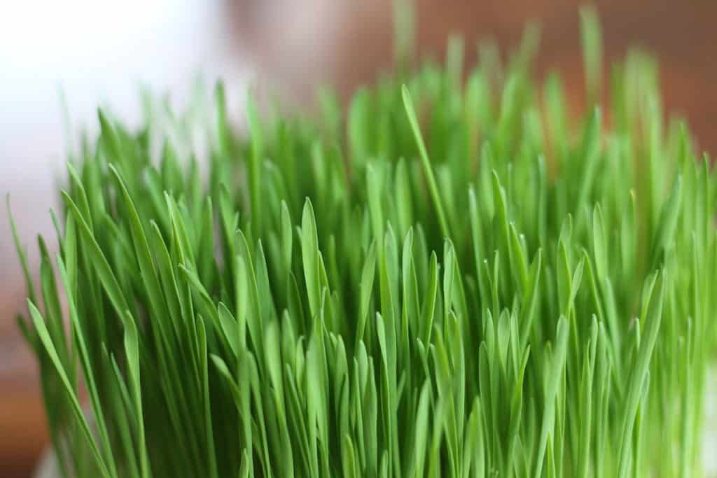 green blades of wheatgrass