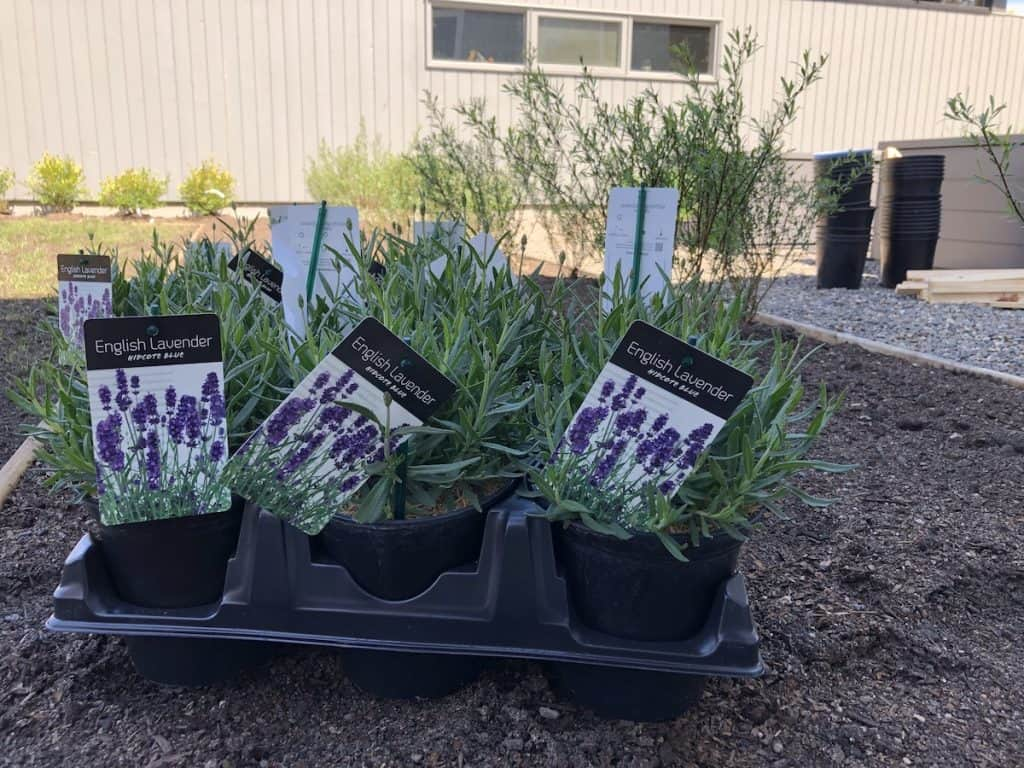 new english lavender plants ready to be planted into the garden