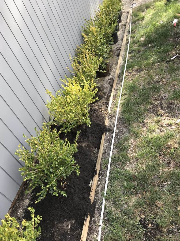 planting winter gem boxwood in the backyard