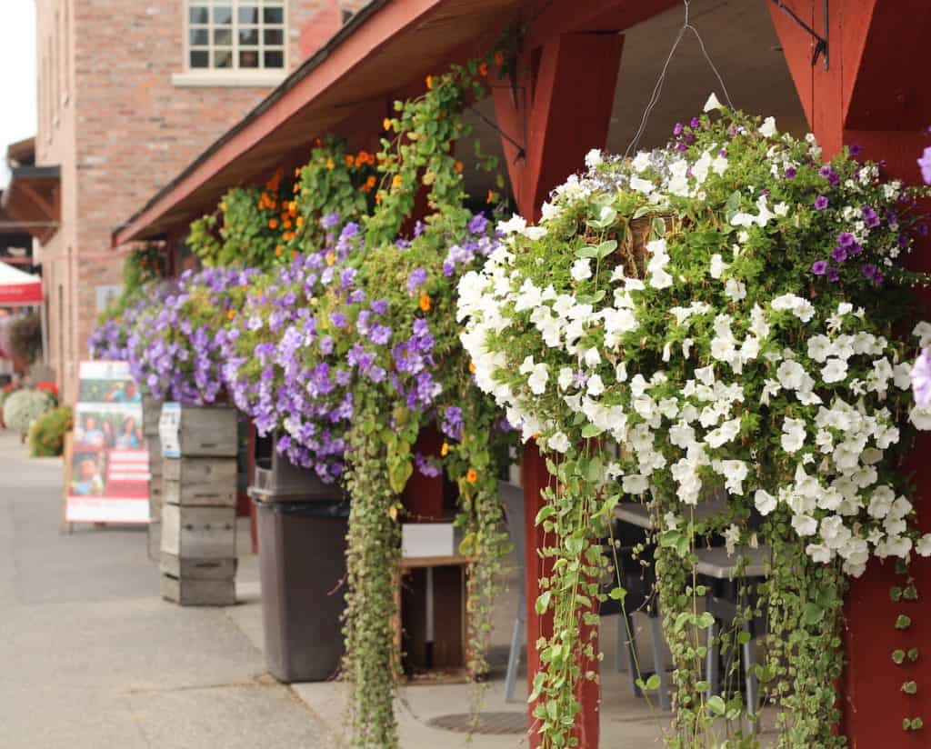 purple trailing flowers in hanging baskets