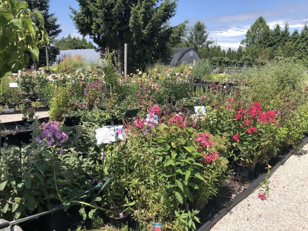 shopping for perennial flowers