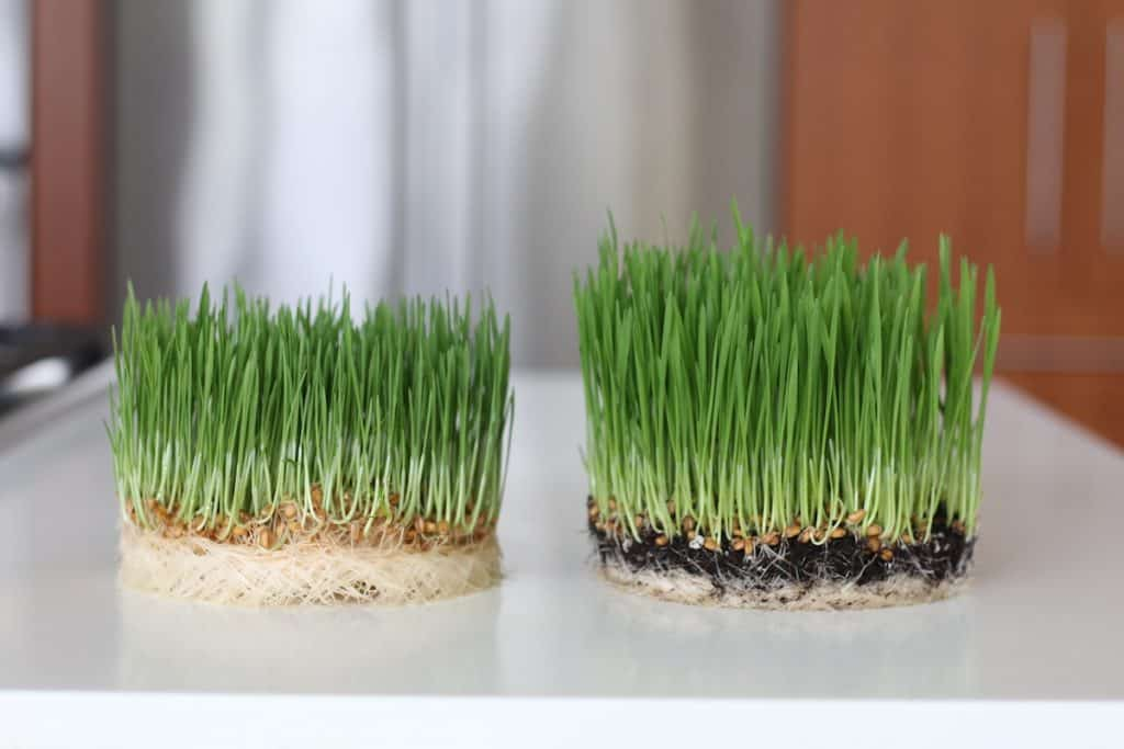 side by side comparison of wheatgrass grown with soil and without soil