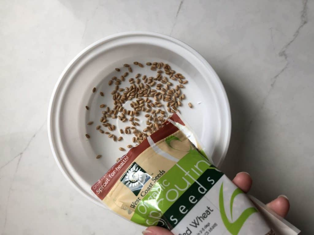 sprouting seeds for cat grass