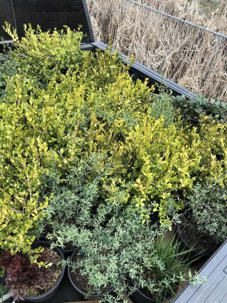 yellow-bronzing of japanese boxwood Japanese Boxwood (Buxus microphylla) shrubs after winter