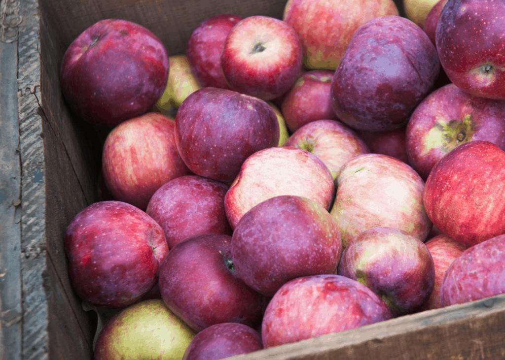 Bin of Macoun Apples