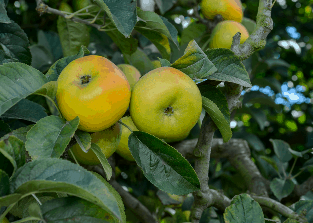 Newtown Pippin Apples on Tree - Heirloom Type