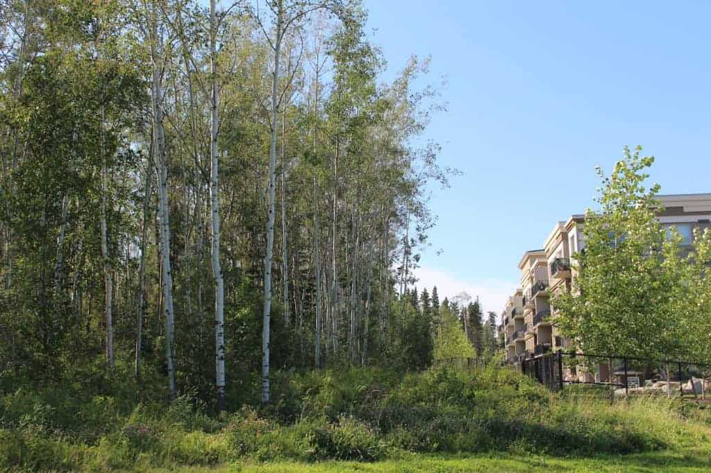 fast growing aspen and birch beside condo building