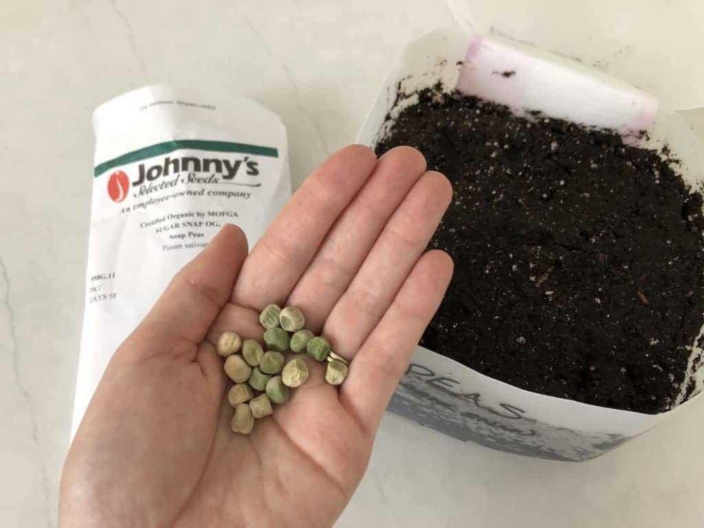 Planting snap peas in winter sowing jug
