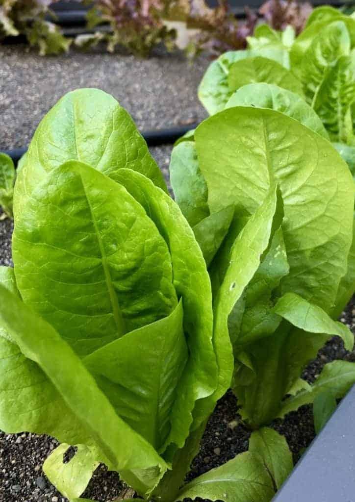 Leaf Lettuce in Garden