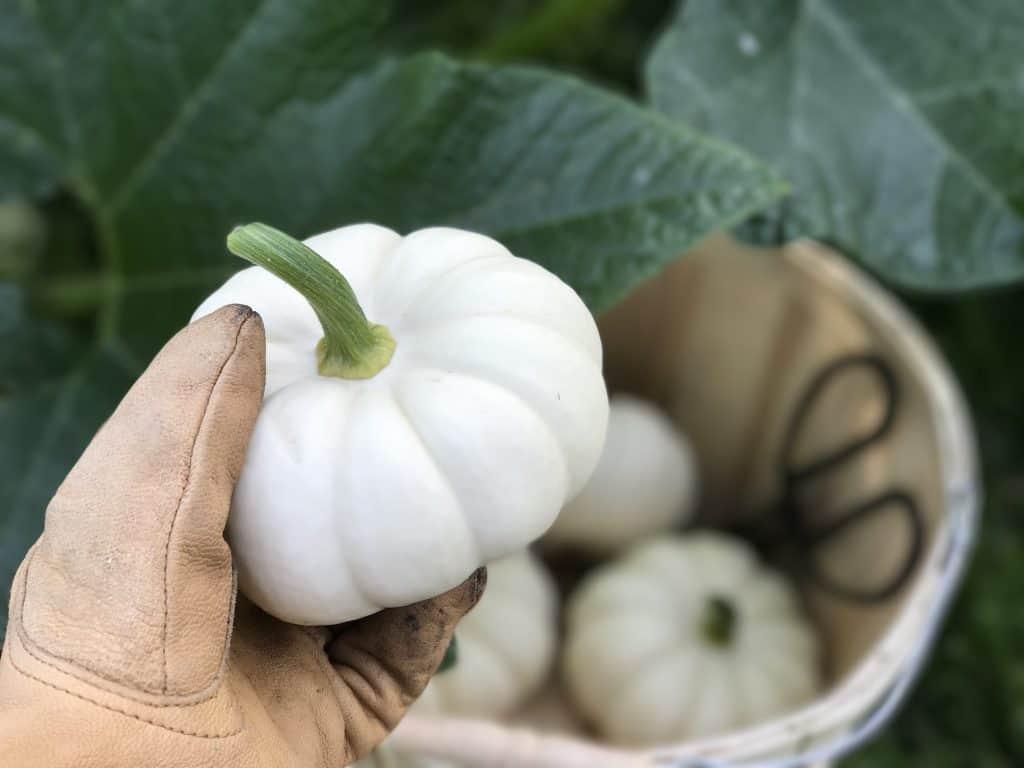 Small Mini Casperita Pumpkins