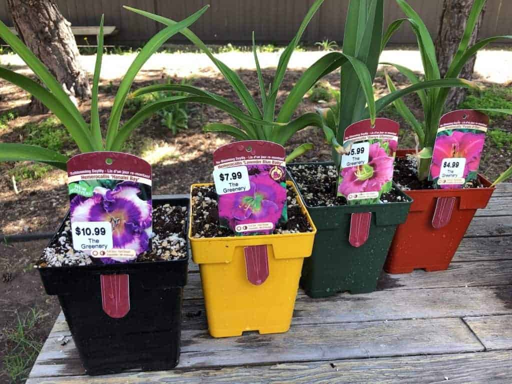 Different types of daylily flowering plants in pots