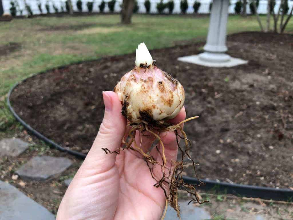 Lily bulb held in hand