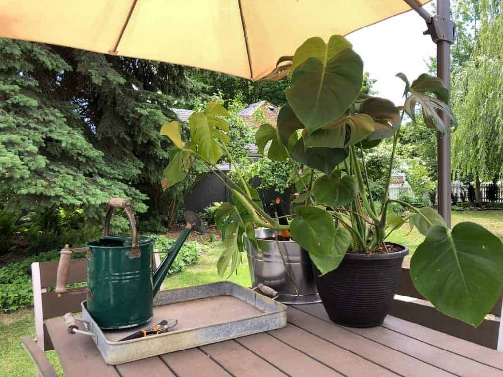 Supplies for Repotting Monstera Plant